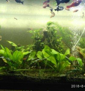 Аквариумные растения: эхинодорус 2 вида, анубиас,