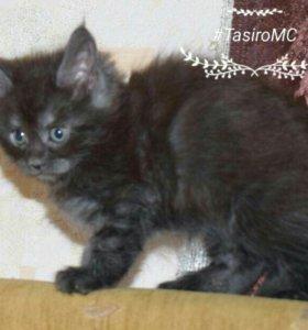 кошка, вырастающая размером с кота