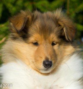 Колли щенок