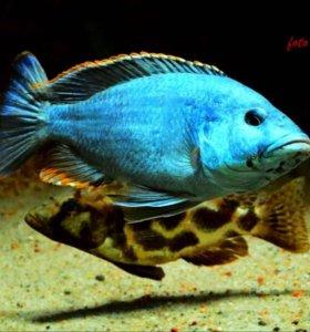 Nimbochromis Livingstoni малёк малавийские цихлиды