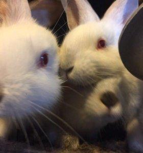 Кролики белые