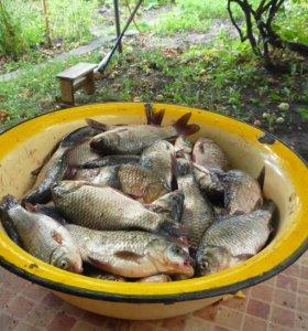 Продам живую рыбу (карась)
