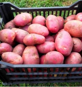Продам свежий крупный картофель