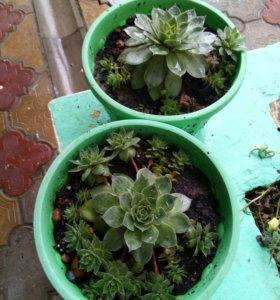 Декоративные,вечнозеленые