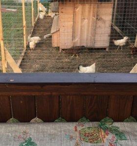 Яйца домашние куриные.