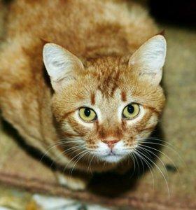 Рыжий кот Боцман