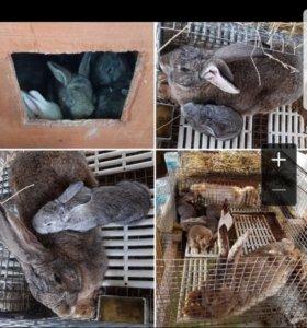 кролики породы РИЗЕН и БАРАН.