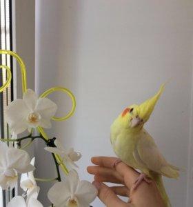 Птенцы попугая карелла