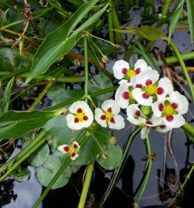 Растения для пруда в ассортименте .