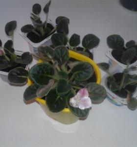 Фиалки розовые, белые, фиолетовые