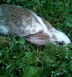 Срочно продам кролика