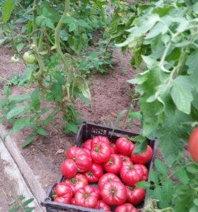 Продаем помидоры домашние