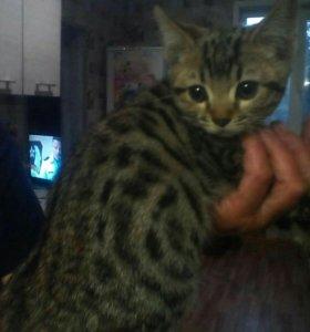 Продам котёнка мать британка, отец бенгал