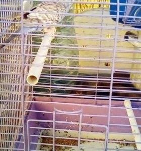 Попугай волнистый