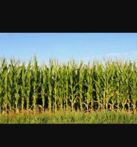 Ботва кукурузы