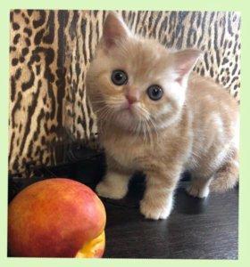 Котята из питомника шотландские