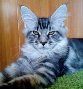Котята мейн-кун, драгоценное серебро.