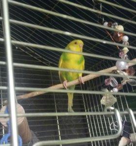 Волнистый попугай самка