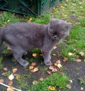 Вислоухая молодая кошечка