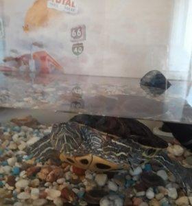Черепаха красноухая с аквариумом и фильтром