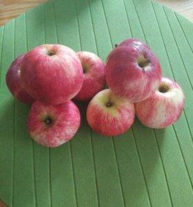 Яблоки. Сбор с дерева.