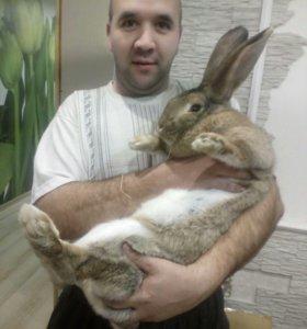 Крольчиха серого великана.