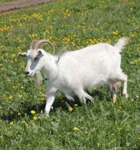 Продаю коз!!!