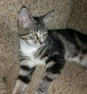 Кошечка на серебре полосочки и кисточки на ушах