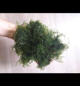 Яванский мох в аквариум