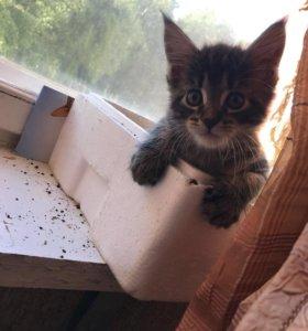 Кошечка мей кун 1 месяц