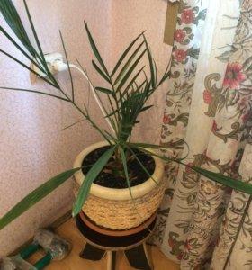 Финиковая пальма вместе с горшком