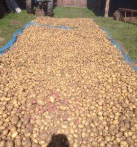 Картофель бичурский