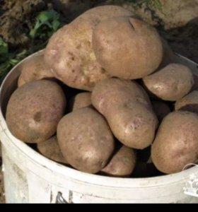 Картофель сорт «Синеглазка»