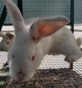 Кролики. Самцы.