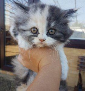 Продаются котята шотландской длинношёрстной