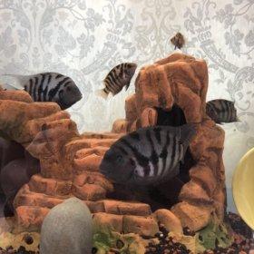 Чернополосая рыба
