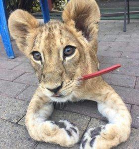 Лев Африканский