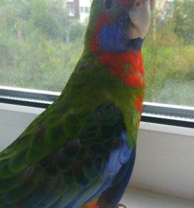 Попугаи Розеллы