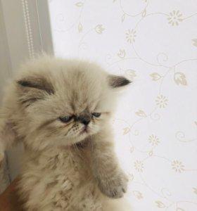 Персидская кошечка