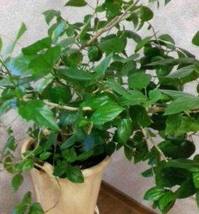 Срочно Комнатные растения китайская роза
