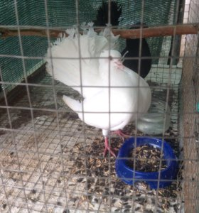 Голубь-павлин