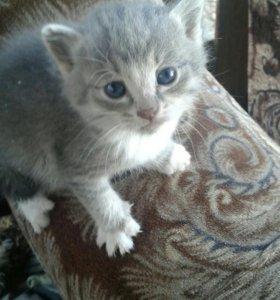 Котята серые родились 20 августа