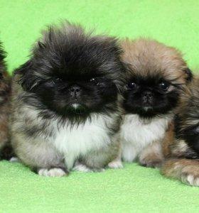 Собаки пекинес