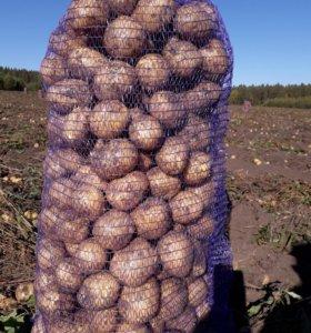 Продаю картофель,сорта Гала,Розара,Беллароза.
