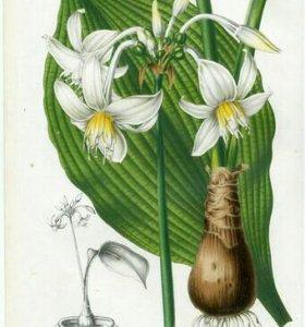 Эухарис – амазонская лилия.