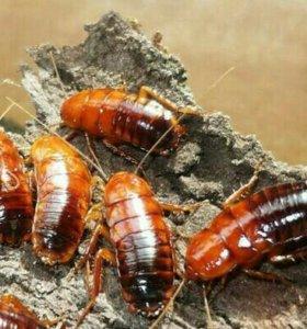 Тараканы Туркменские