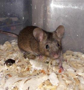 Мышь мальчик