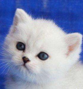 Британские котята. Серебристые шиншиллы!