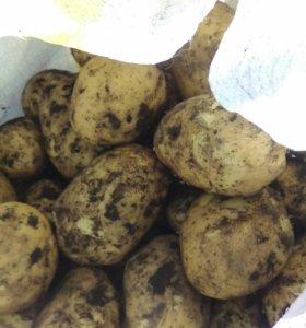 Продается кяхтинский картофель