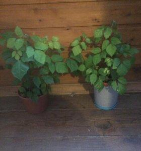 Комнатные растения Циссус